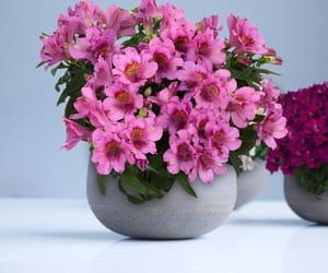 flowers, alstroemeria, and australian plants image