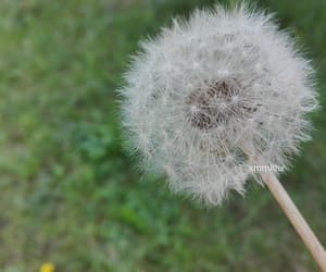 dandelion, flowers, and green image