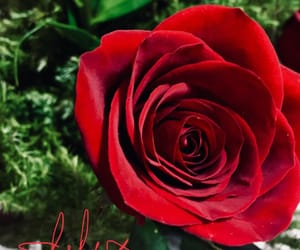 red, méxico, and roses image