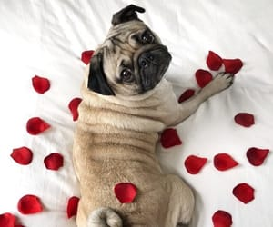 dog, pug, and rose image