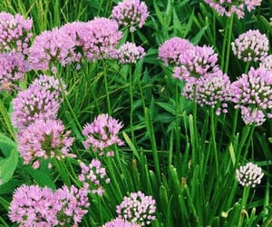 aesthetic, lilac, and nature image