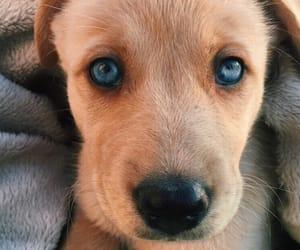 blue eyes, dog, and cute image