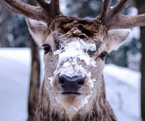 close up, elk with snow face, and animal photography image