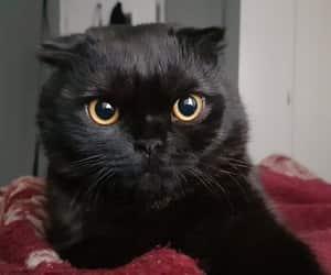 animal, black, and black cat image