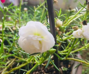 blanco, flores, and flowers image
