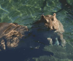 gif and baby hippo image