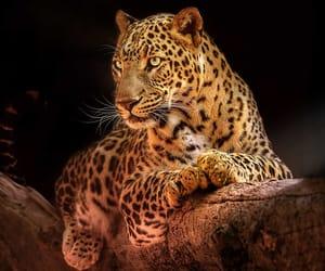 Stalker, Leopard by Sunil