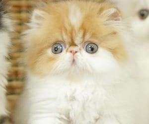 cat, cats, and persian cats image
