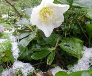 flower, nature, and snow image
