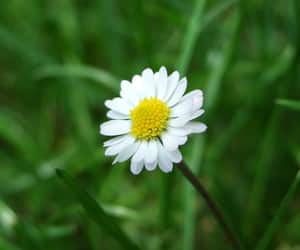 daisy, flowers, and green grass image