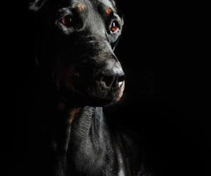 doberman pinscher, dogs are life, and dogs own us image