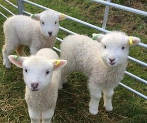 cute, animal, and sheep image