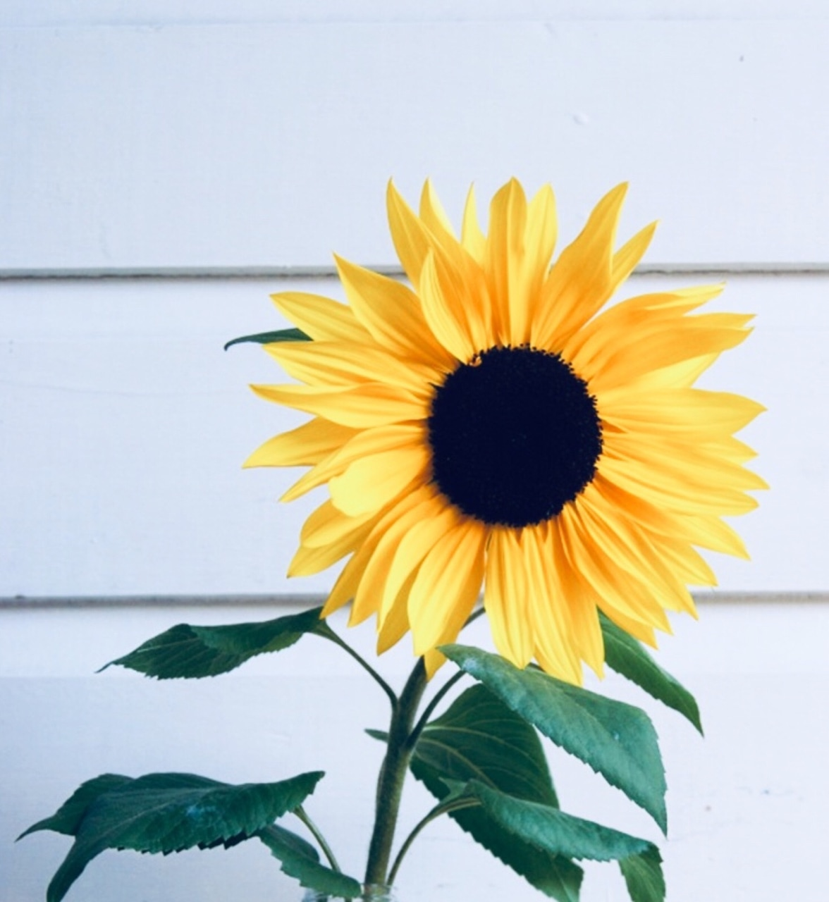 Aesthetic Sunflower Pictures - Largest Wallpaper Portal