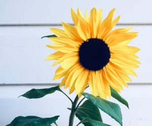 aesthetic, flowers, and sunflower image