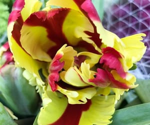 tulips, flora, and flowers image