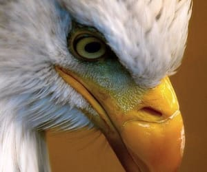 american bald eagle and raptor image