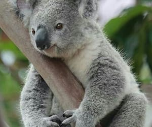 Koala and animal image