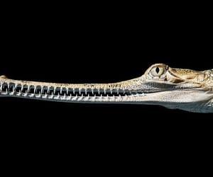 gharial indien image