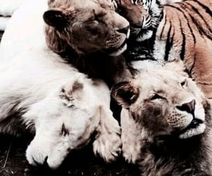 animal, beauty, and lions image