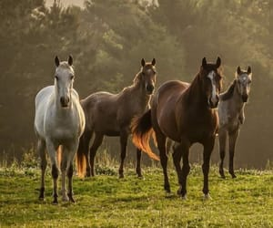 beauty, brown, and horses image