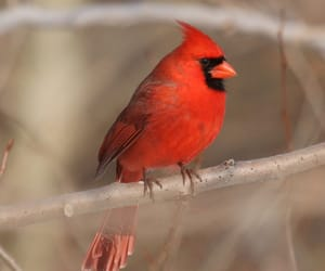 beautiful, cardinals, and feathers image