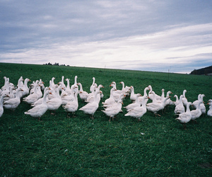 ducks, field, and green image