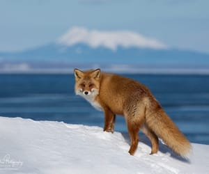 Ezo red fox (Vulpes vulpes schrencki) photographed in Hokkaido last week. By Guy Edwardes Photography