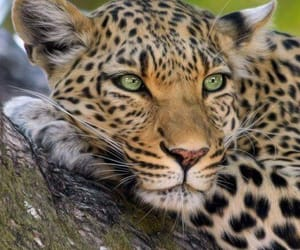 animal, leopard, and beautiful image