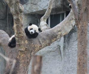 animal, Chengdu, and china image