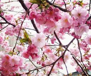 blossom, cerejeira, and cherry blossom image