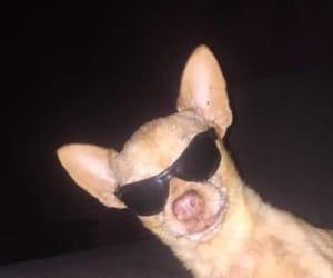 chihuahua, dog, and hahahaha image