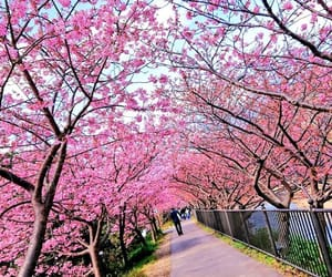 beautiful, cherry blossom, and cherry blossoms image