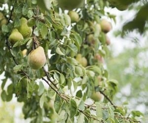green, nature, and pears image