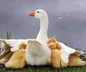 duck, ducklings, and nature image