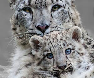 animal, snow leopard, and wild image