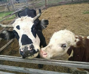 Animales, cows, and sweet image