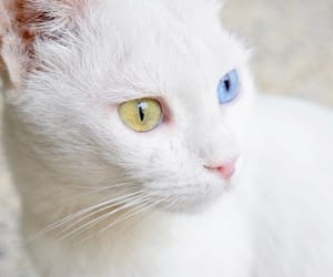 animal, blue eye, and cats image