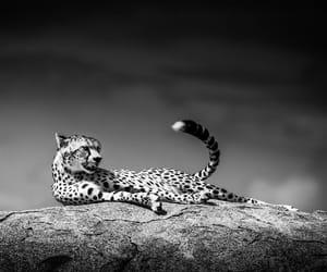 animals, black and white, and wild image