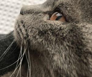 cat, grey, and duman image