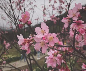 flowers, pinky, and sakura image