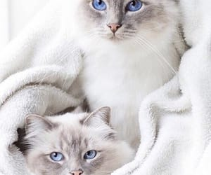 animal, beauty, and cat image