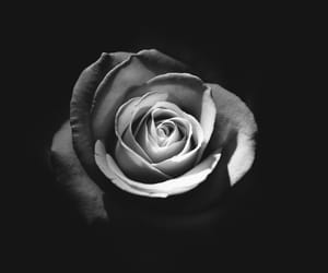 black and white, rose, and flowers image