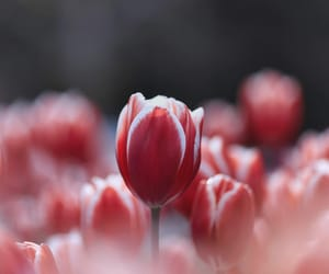 beautiful, tulips, and spring image