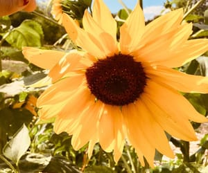 flower, sunflower, and nature image