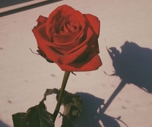 red, rose, and beautif image