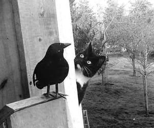 cat, black, and crow image