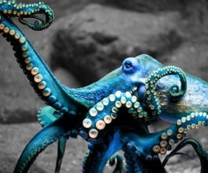 octopus, animal, and sea image