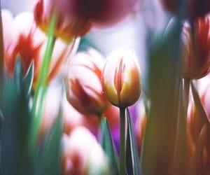 beautiful, photo, and tulips image