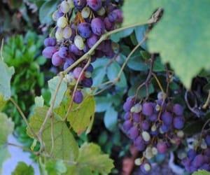 autumn, grape, and grapes image