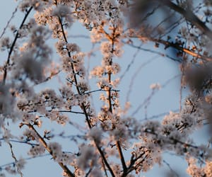 blue sky, cherry blossom, and floral image
